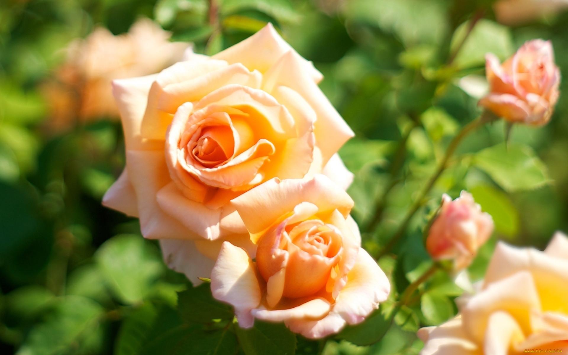 фотообои на рабочий стол цветы розы спортивная обувь